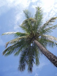 Hawaiipalmtree
